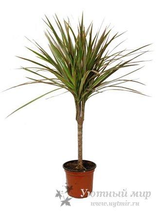 Комнатные растения каталог пальмы
