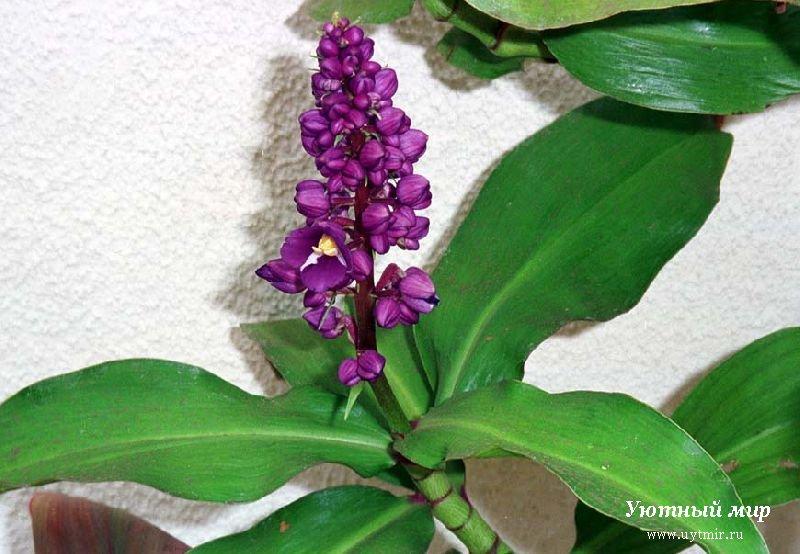Растения лианы ампельные
