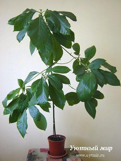 Декоративнолистные растения деревья